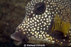Smooth Trunkfish on the Big Coral Knoll off the beach at ... by Michael Kovach 